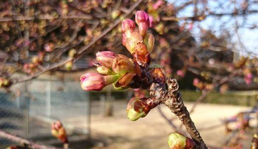 いらっ茶いわたらいにも春の訪れ(河津桜)です