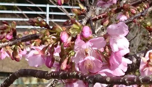 河津桜が咲いてきました。