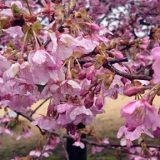 河津桜が満開になりました!