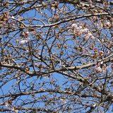 ソメイヨシノが咲き始めました!