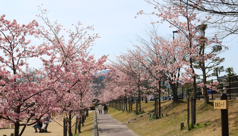 度会の風景 桜並木